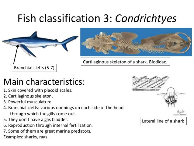 Vertebrates ppt for Characteristics of fish