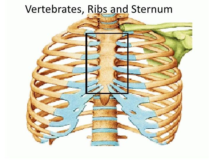 Vertebrates, Ribs and Sternum