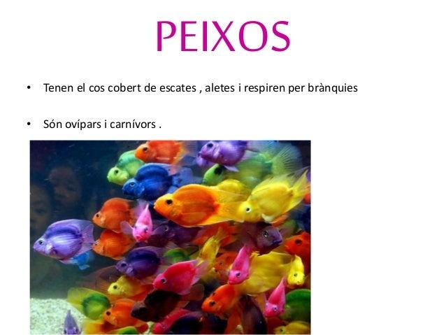 CELENTERATS • Són aquàtics i tenen el cos tou i arrodonit i acabat amb tentacles . • Viuen fixos al sòl o neden