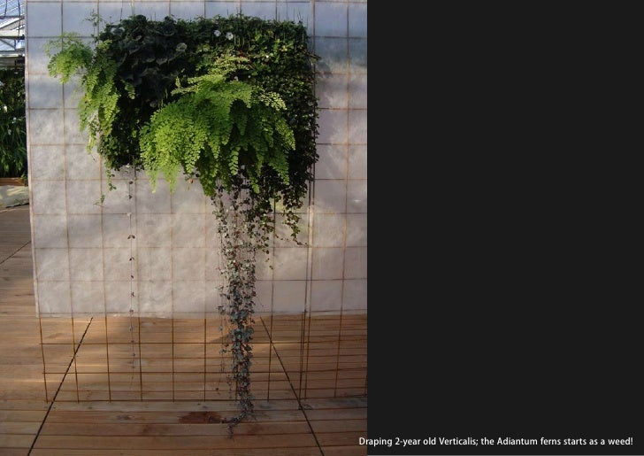 vertical greening systems   stephanie gautama   Draping 2-year old Verticalis; the Adiantum ferns starts as a weed!
