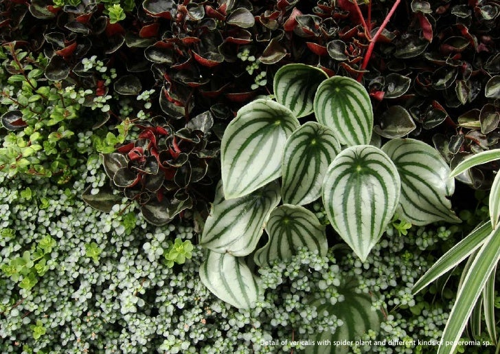 vertical greening systems   stephanie gautama   Detail of vericalis with spider plant and different kinds of peperomia sp.