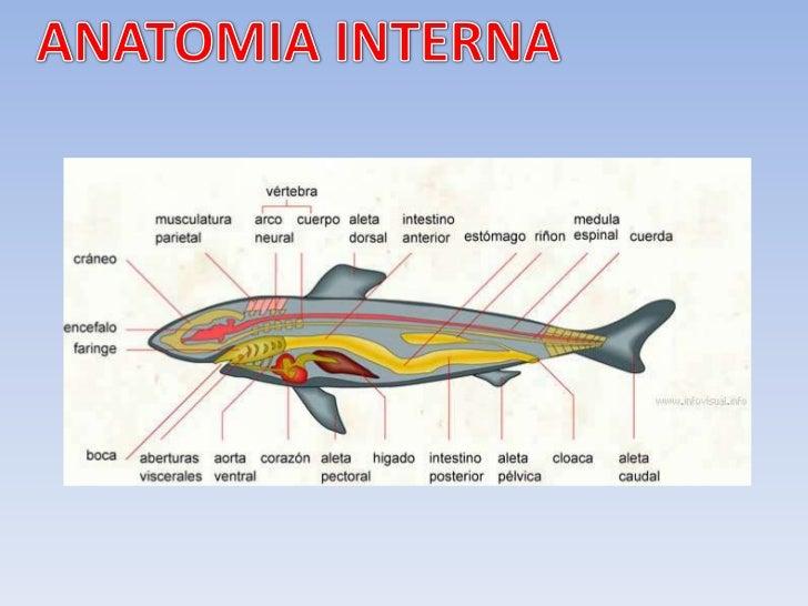 Contemporáneo Salmón Anatomía Externa Bosquejo - Anatomía de Las ...