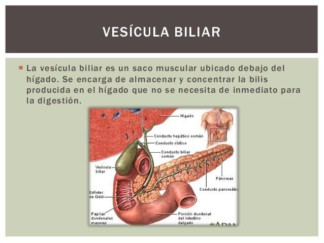  La vesícula biliar es un saco muscular ubicado debajo del hígado. Se encarga de almacenar y concentrar la bilis producid...