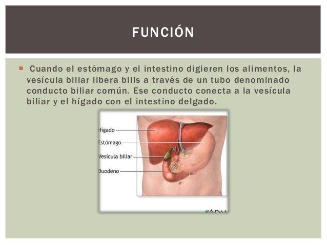  Cuando el estómago y el intestino digieren los alimentos, la vesícula biliar libera bilis a través de un tubo denominado...