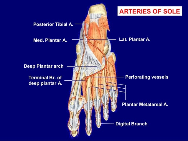 Vessels and nerves of sole of foot