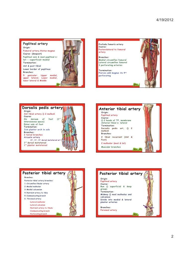 Medial Circumflex Femoral Artery Vessels & nerves o...