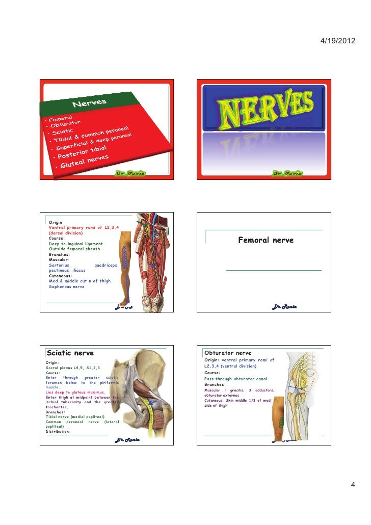 femoral nerve outside femoral sheath – applecool, Muscles