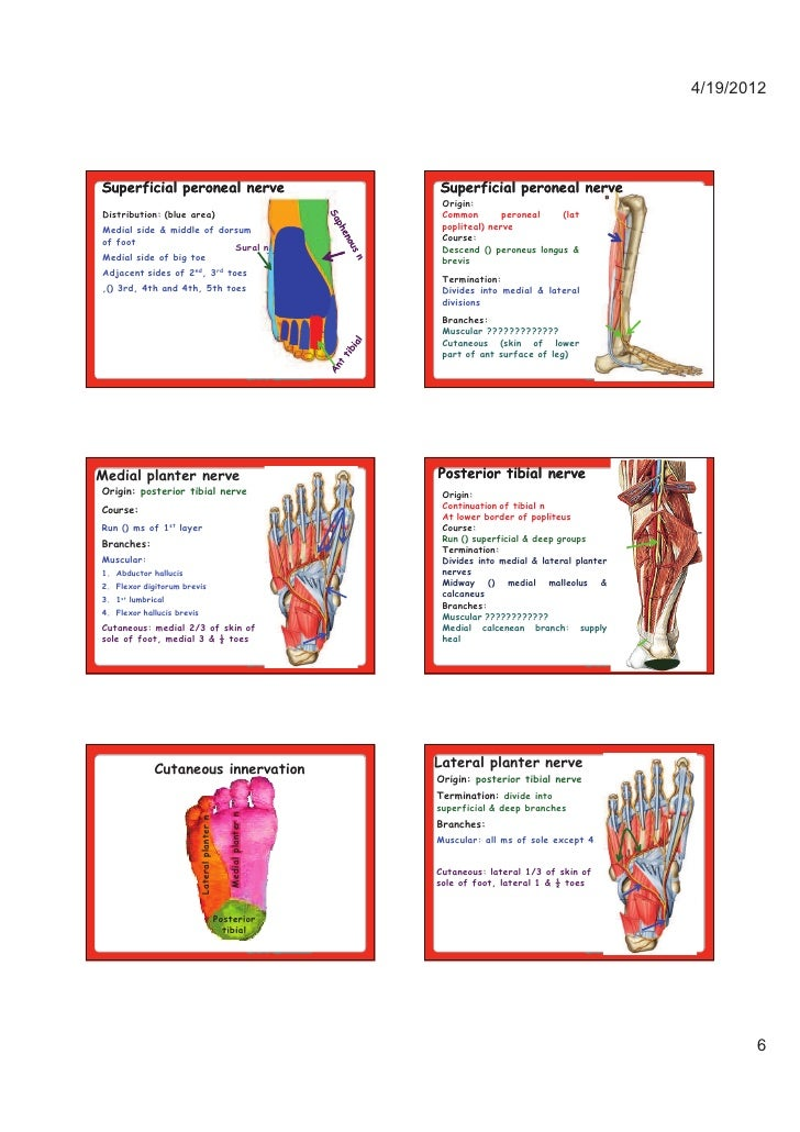 Vessels Amp Nerves Of Lower Limb