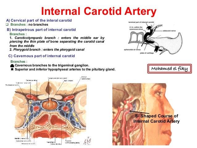 the internal carotid artery branches to form the - Heart.impulsar.co