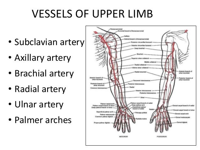 Upper Extremity Vessel Diagram Wiring Library