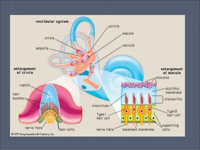 Vestibular system 2013