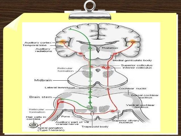vestibulocochlear nerve 8, Human Body
