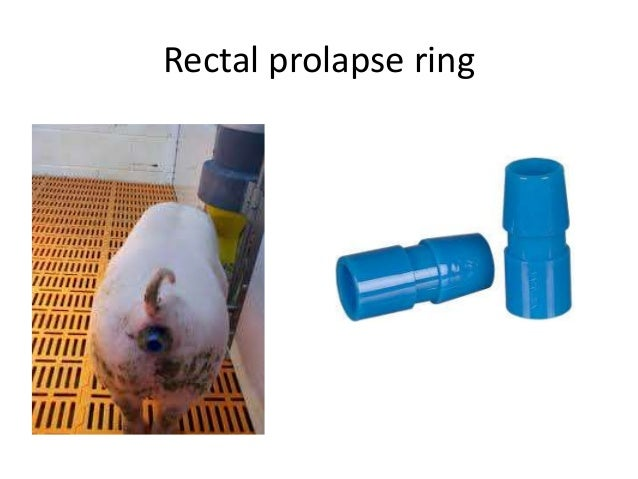 Rectal Ring For Sheep