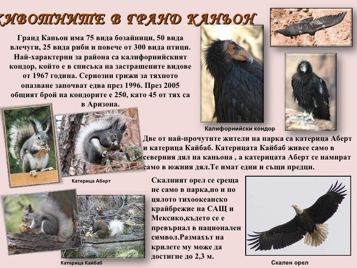 ЖИВОТНИТЕ В ГРАНД КАНЬОН ГрандКаньонима 75 вида бозайници, 50 вида влечуги, 25 вида риби и повече от 300 вида птици. Най...