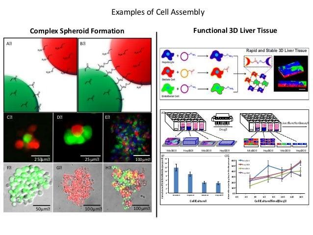 25µm 25µm D A B 25 µm C 100µm F G 100µm H 50µm 100µm E Rapid and Stable 3D Liver Tissue AlbuminSecreon(µg/day/millionhepat...