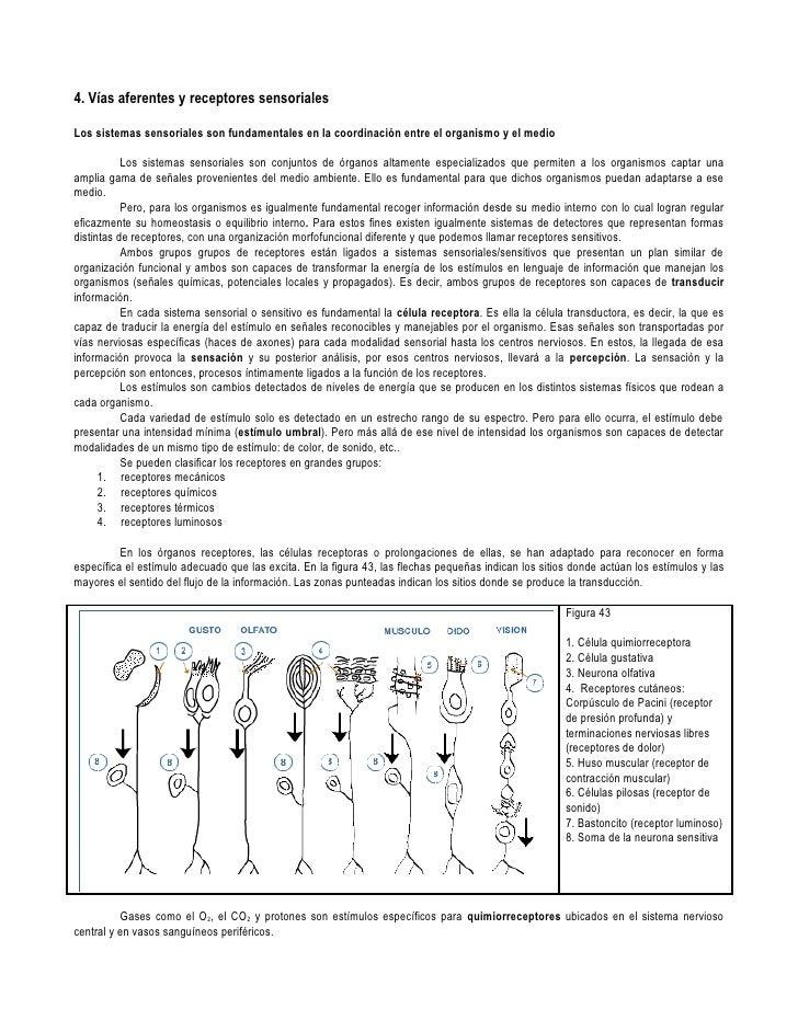 Vias aferentes y receptores sensoriales.