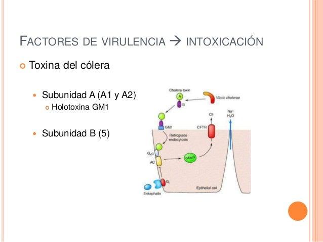 FACTORES DE VIRULENCIA  INTOXICACIÓN  Toxina del cólera  Subunidad A (A1 y A2)  Holotoxina GM1  Subunidad B (5)