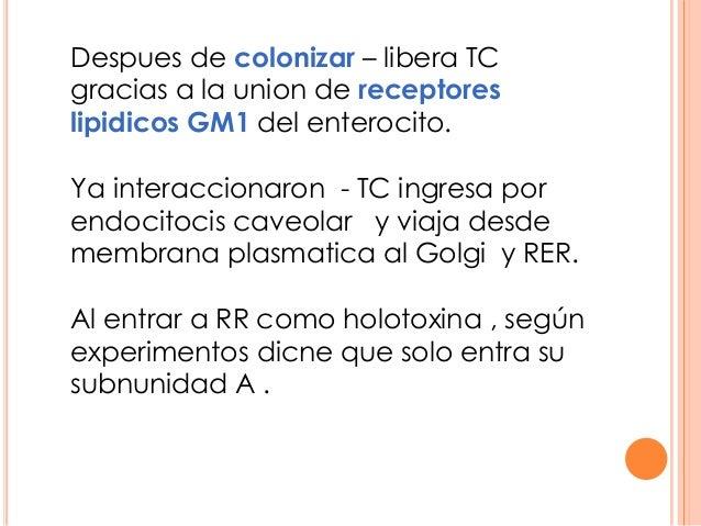 Despues de colonizar – libera TC gracias a la union de receptores lipidicos GM1 del enterocito. Ya interaccionaron - TC in...