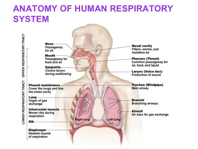 Drugs Acting On Respiratory Systempathophysiology Of Respiratory Sy