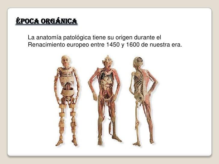 Época orgánica    La anatomía patológica tiene su origen durante el   Renacimiento europeo entre 1450 y 1600 de nuestra er...