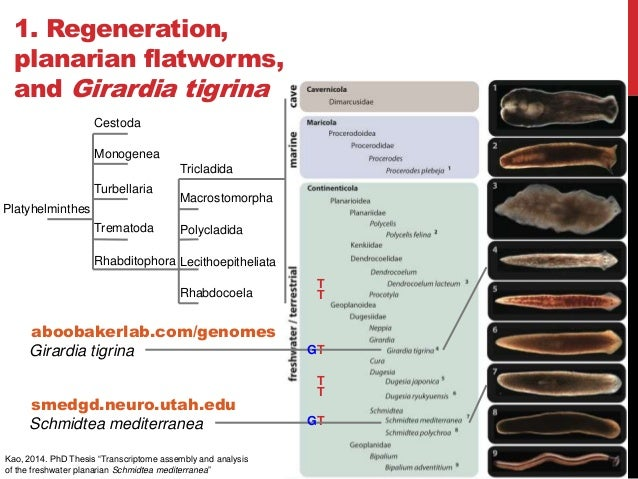 cestodes thesis After a doctoral thesis on parasitic cestodes, euzet progressively extended his  expertise to monogeneans and a variety of fish parasites he authored about 200 .