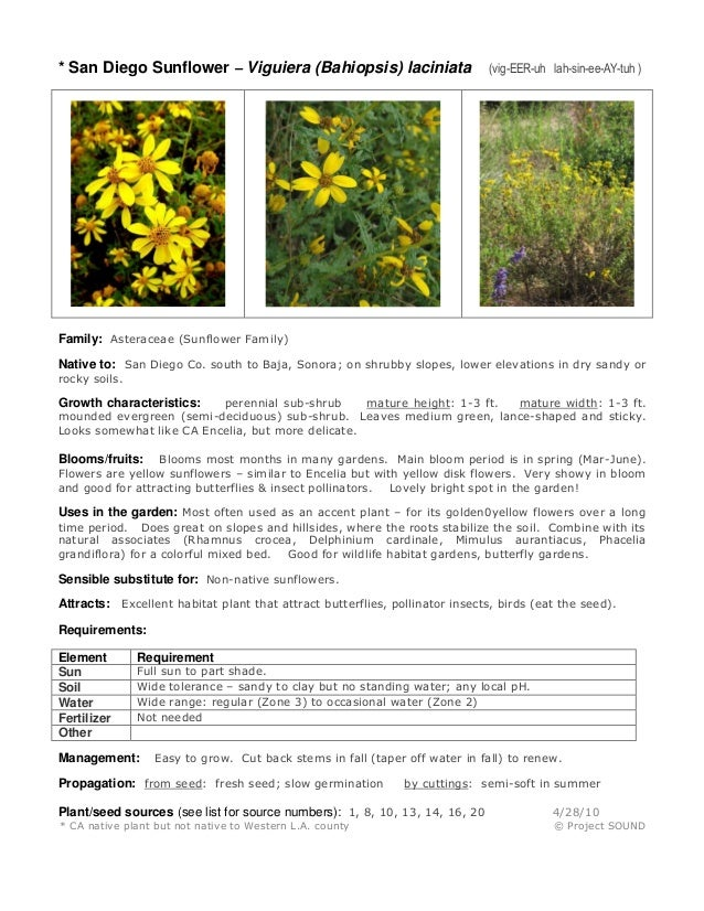 * San Diego Sunflower – Viguiera (Bahiopsis) laciniata  (vig-EER-uh lah-sin-ee-AY-tuh )  Family: Asteraceae (Sunflower Fam...