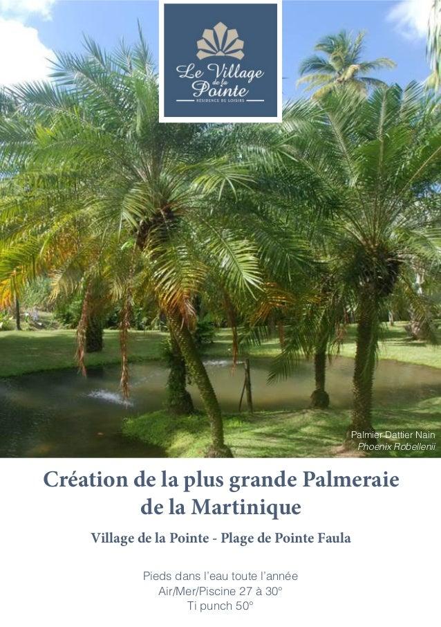 Palmier Dattier Nain Phoenix Robellenii  Création de la plus grande Palmeraie de la Martinique Village de la Pointe - Plag...