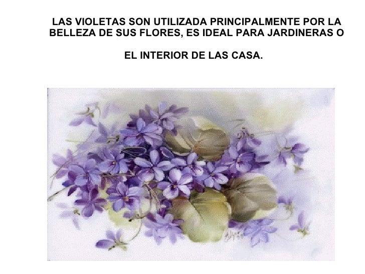 LAS VIOLETAS SON UTILIZADA PRINCIPALMENTE POR LA BELLEZA DE SUS FLORES, ES IDEAL PARA JARDINERAS O EL INTERIOR DE LAS CASA...