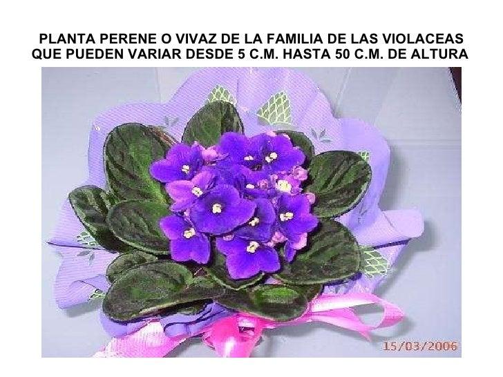 PLANTA PERENE O VIVAZ DE LA FAMILIA DE LAS VIOLACEAS QUE PUEDEN VARIAR DESDE 5 C.M. HASTA 50 C.M. DE ALTURA