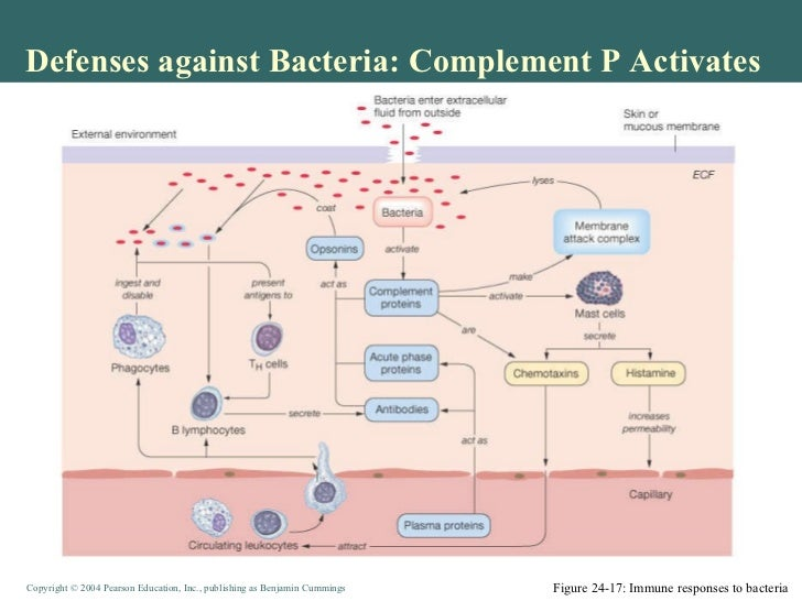 an overview of the experiment killing a bacteria with antibodies In another experiment, the research team compared untreated mice to mice that had healthy gut bacteria levels but low levels of ly6chi either due to genetics or due to treatment with antibodies.