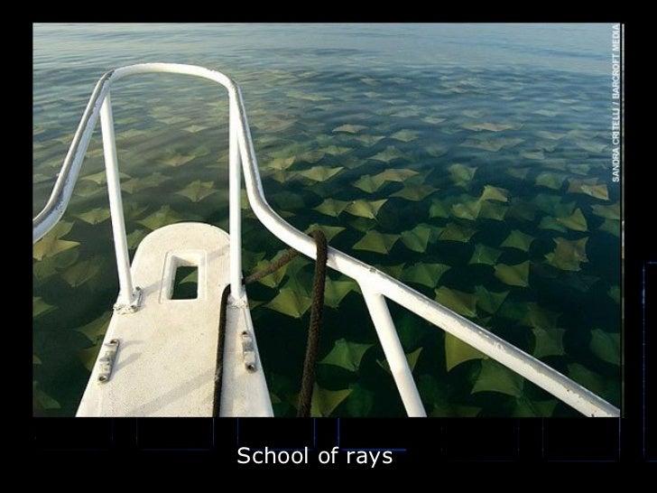 School of rays