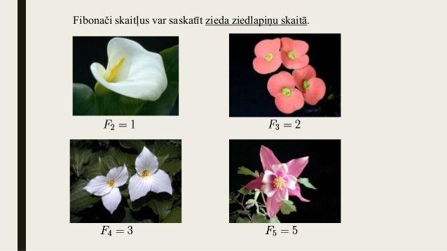 Fibonači skaitļus var saskatīt zieda ziedlapiņu skaitā.