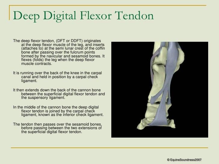 Causes of horse injuries deep digital flexor tendon injury