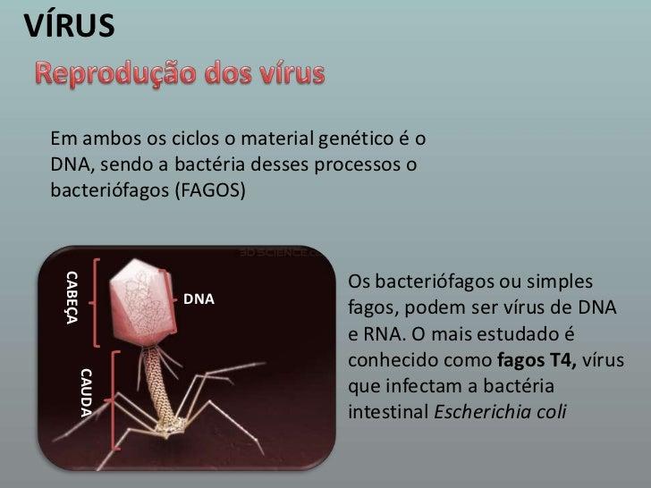 VÍRUS<br />Reprodução dos vírus<br />Em ambos os ciclos o material genético é o DNA, sendo a bactéria desses processos o b...