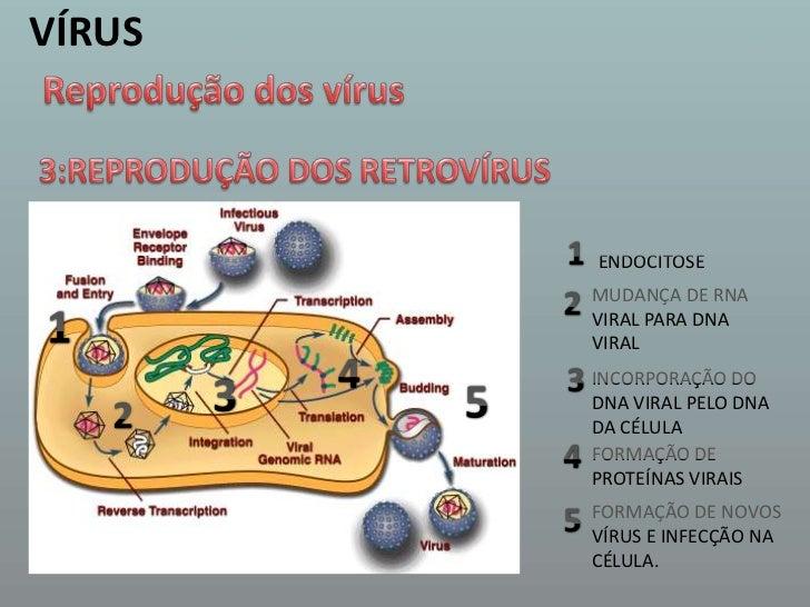 VÍRUS<br />Reprodução dos vírus<br />3:REPRODUÇÃO DOS RETROVÍRUS <br />1<br />ENDOCITOSE <br />2<br />MUDANÇA DE RNA VIRAL...