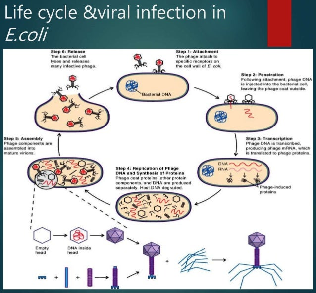 7  the role of bacteriophage t4