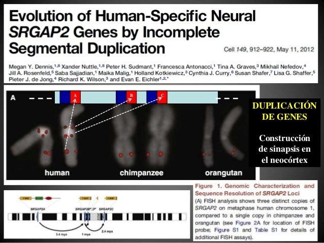"""RTP (genoma vírico) Gerbo """"ratonizado"""" Activación Virus endógeno TRANSFERENCIA HORIZONTAL DE GENES Gen celular adyacente I..."""