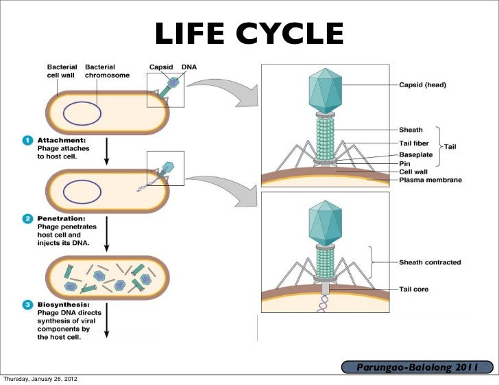 life cycle of a virus Life cycles  a adsorption: random collision of the virion with a plasma membrane receptor site protein the distribution of these receptor site proteins controls the tissue specificity of the virus.