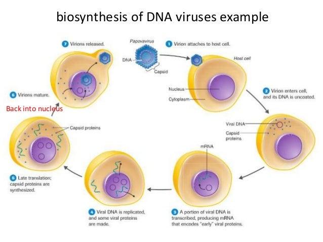Virus Structure Multiplication