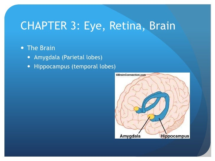 CHAPTER 3: Eye, Retina, Brain<br />The Brain<br />Amygdala (Parietal lobes)<br />Hippocampus (temporal lobes)<br />