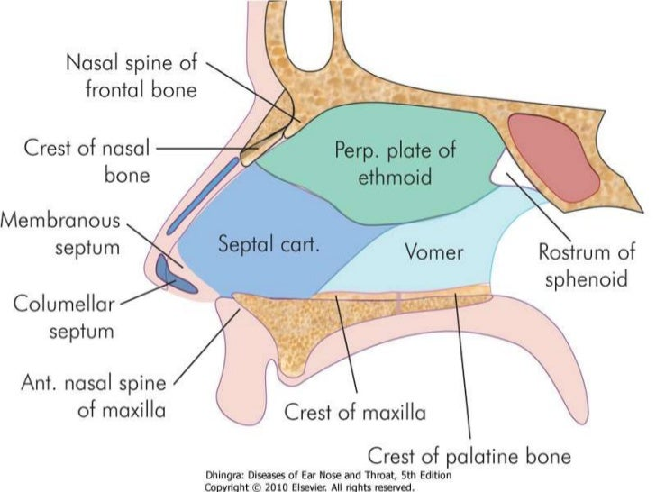 Anatomy of the Nose | Health Life Media