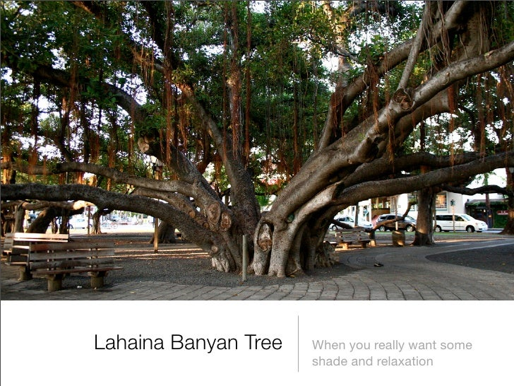 Lahaina Banyan Tree   When you really want some                       shade and relaxation