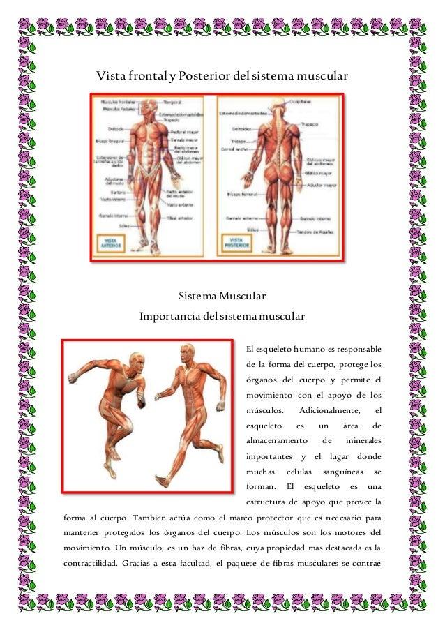 Vista frontal y posterior del sistema muscular del Cuerpo Humano
