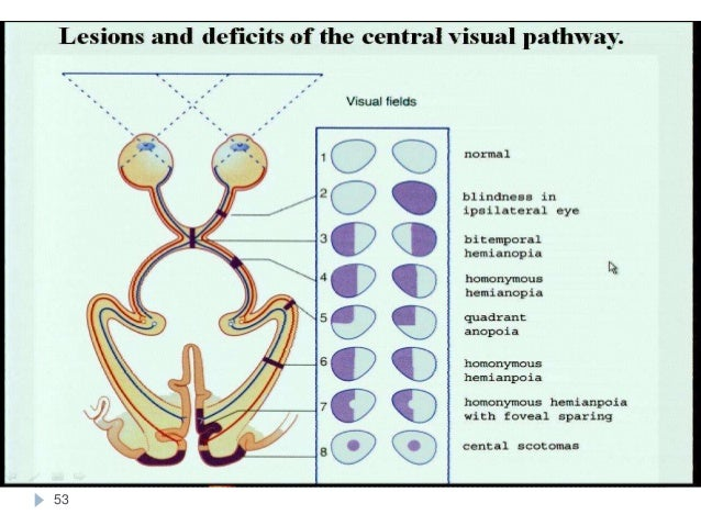 visual pathway Visual pathways: lecture notes 0 introduction in these lectures we will follow the flow of information about visual world, picking up at the photoreceptors and finishing in the cortex.