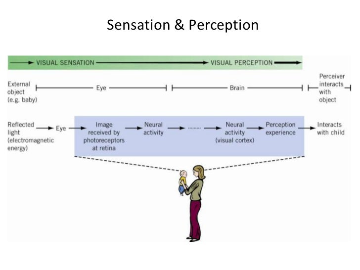 a study of visual sensation and perception Delve into the complexities of perception research learn how infants recognize faces, how adults interpret conversational pauses, and how taste, smell and touch are processed in the brain.