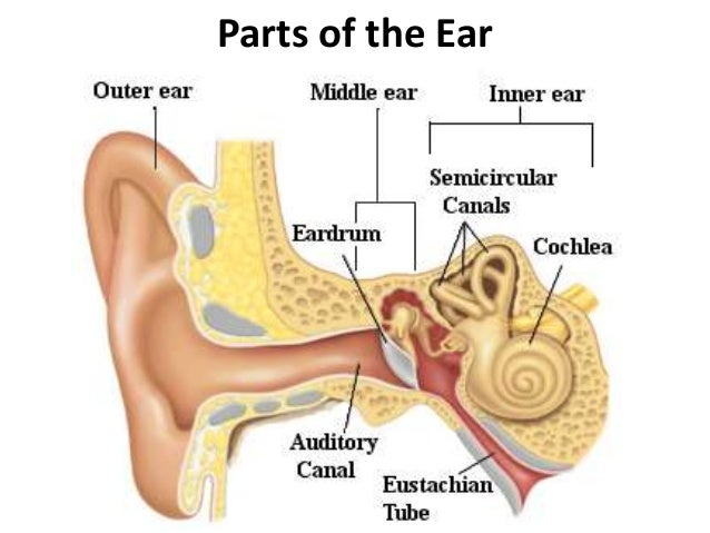 Psychology ear diagram wiring library ap psych visual review rh slideshare net brain ear diagram eye diagram psychology ccuart Gallery