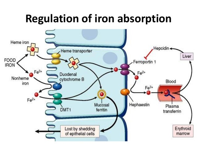 regulating iron metabolism Calcium requirement is dependent on the state of calcium metabolism, which is regulated by three  it involves two major calcium-regulating hormones and their.