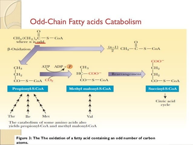 fatty acid sythesis Chapter 28: fatty acid synthesis problems: 2-4,6-7,10,13-14,21-24 281 stages of fa synthesis 1 transfer of acetyl-coa from mitochondria to cytosol 2 activation of acetyl-coa synthesis of malonyl-coa 3 five step elongation cycle of fa synthesis via acp intermediates.
