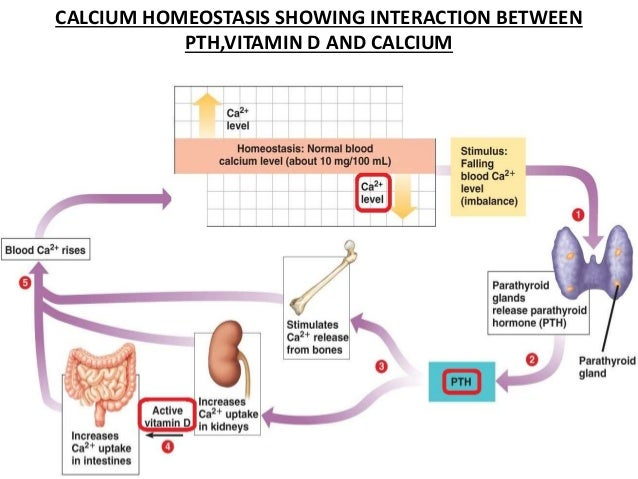 Vitamin D And Hyperparathyroidism. Calcium Homeostasis Showing Interaction Between Pthvitamin D And Hyperparathyroidism. Wiring. Homeostasis Diagram Of Vit D At Scoala.co