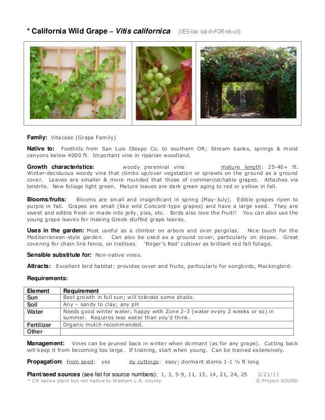 * California Wild Grape – Vitis californica  (VEE-tiss kal-ih-FOR-nik-uh)  Family: Vitaceae (Grape Family) Foothills from ...